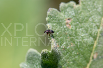 Metallic Flea Beetle