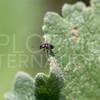 Metallic Flea Beetle