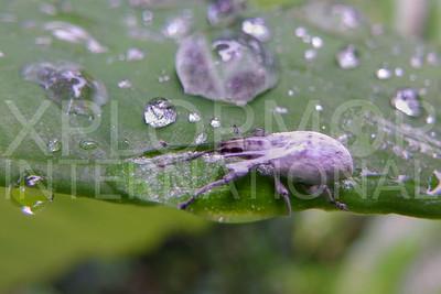 Weevil in Dew Drop