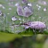 Sri Lanka Weevil