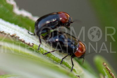 Case-bearing Leaf Beetle