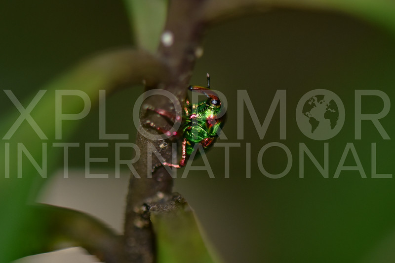 Jewel Weevil