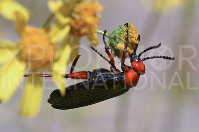 Master Blister Beetle 3