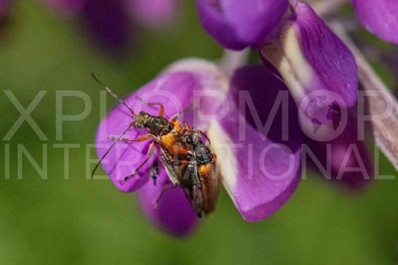 Flower Longhorn Beetles (Mating)