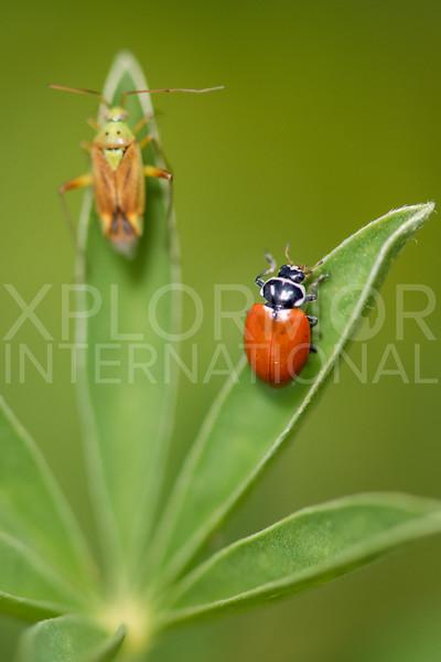 Convergent Lady Beetle and Potato Mirid