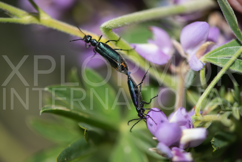 Blister Beetle - Need ID