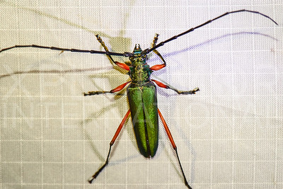 Long-horned Beetle in Cuba