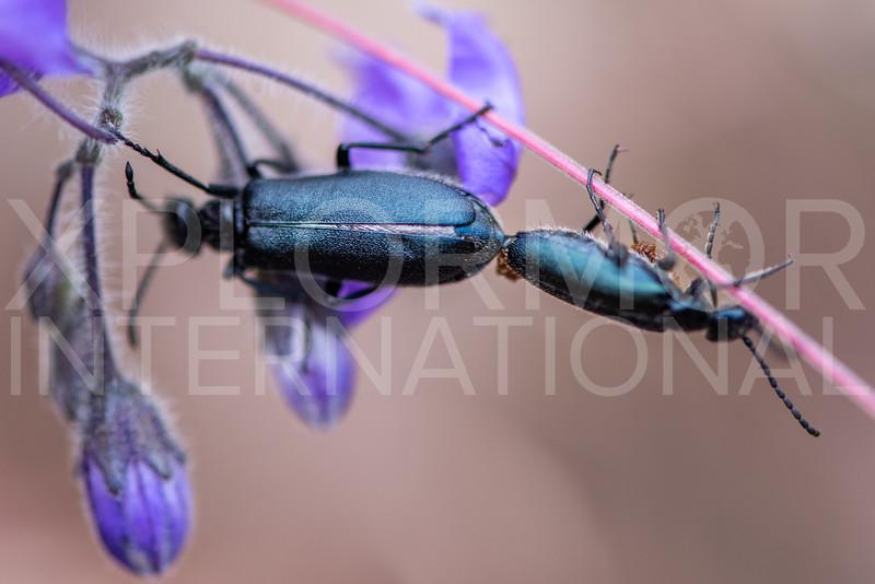 Blister Beetles (Mating) - Need ID