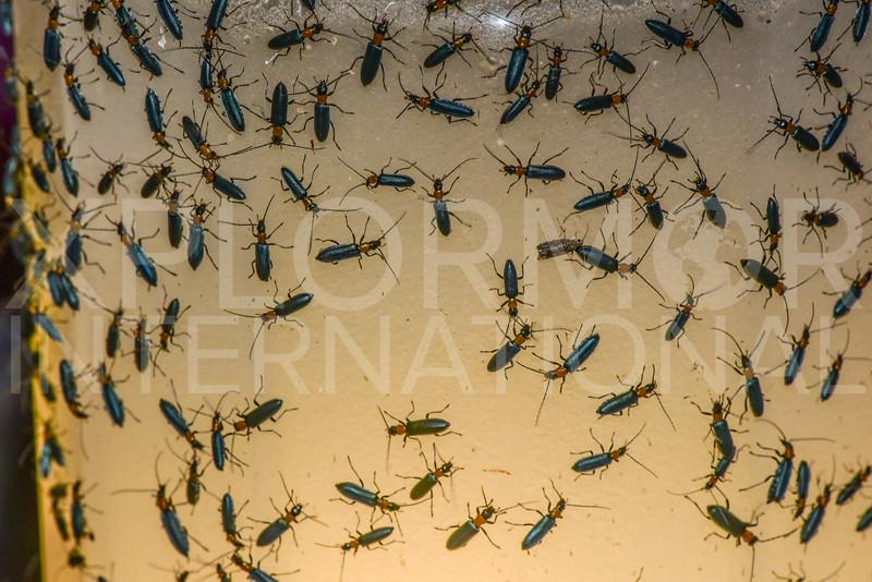 False Blister Beetles - Need ID