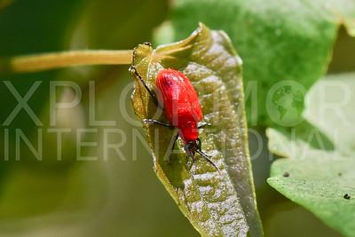 Leaf Beetle in Cuba