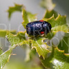 Short-horned Leaf Beetle