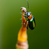 Leaf Beetle - Need ID