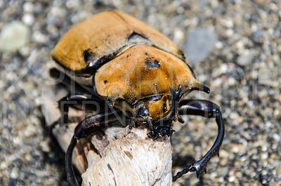 Rhinoceros Beetle 2