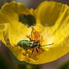 Green Blister Beetle