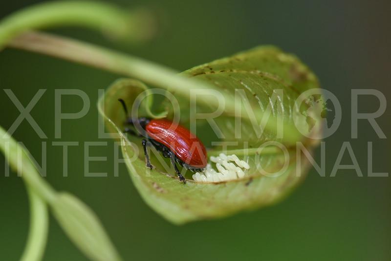 Leaf Beetle Laying Eggs