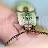 Click Beetle in Cuba