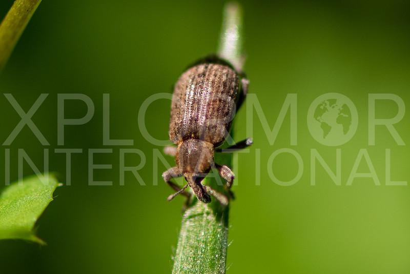 Snout Beetle - Need ID