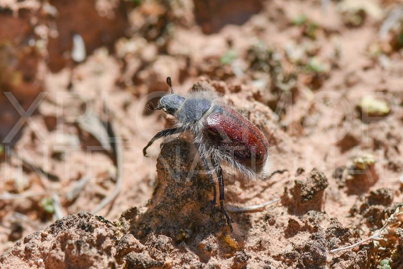 Little Bear Scarab Beetle
