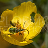 Green Blister Beetle