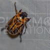 Masked Chafer - Need ID