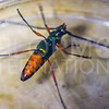 Bumelia Borer Longhorn Beetle