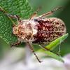 Dusty June Beetle