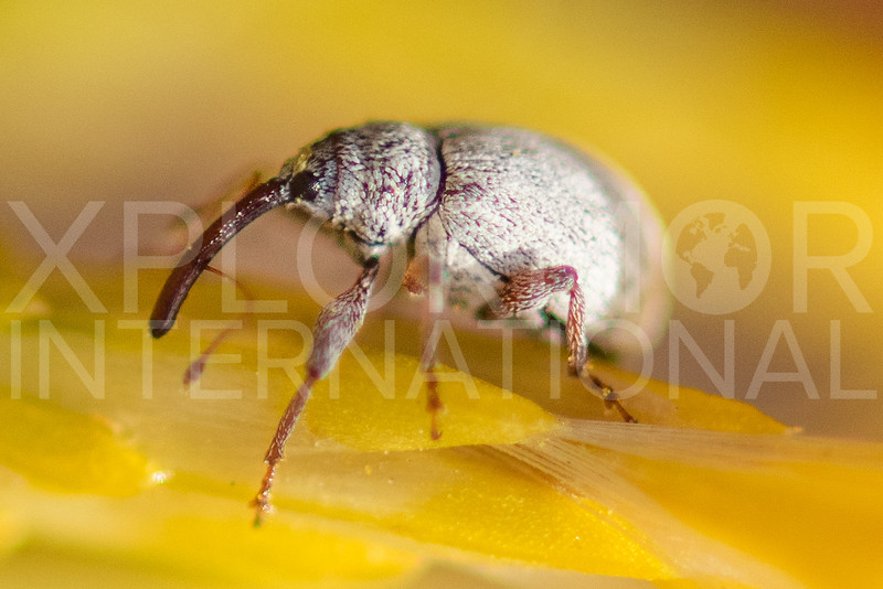 Snout Weevil (Unidentified)