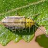 Yerba Santa Beetle