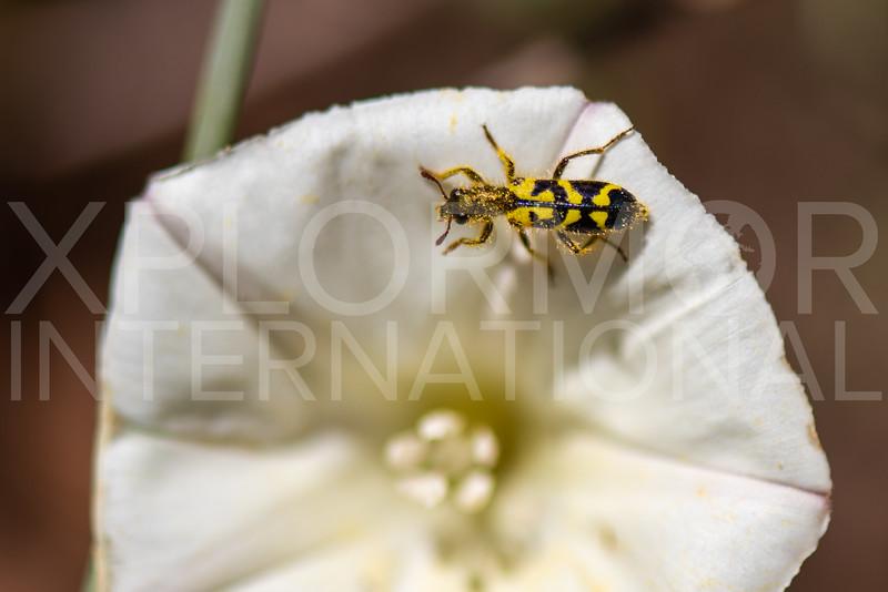 Ornate Checkered Beetle