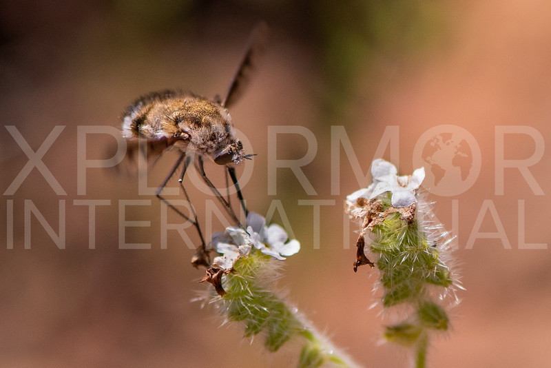 White-headed Bee Fly