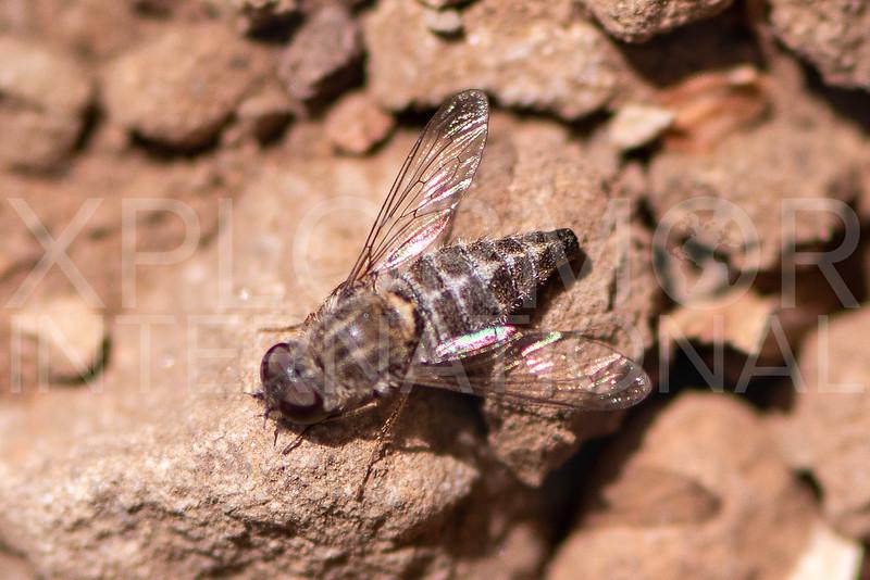 Bee Fly - Need ID