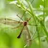 Crane Fly - Need ID