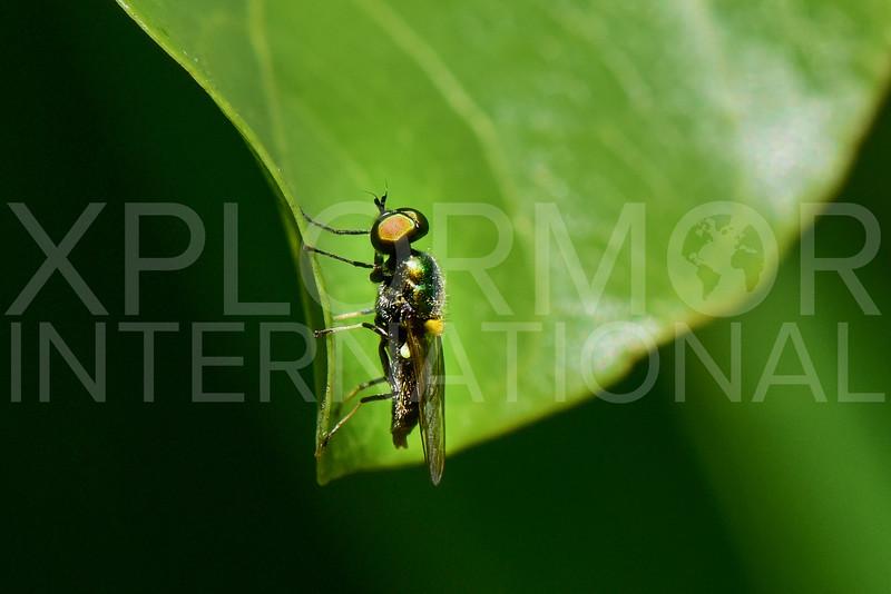 Black-horned Gem Fly