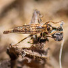 Robber Fly - Need ID