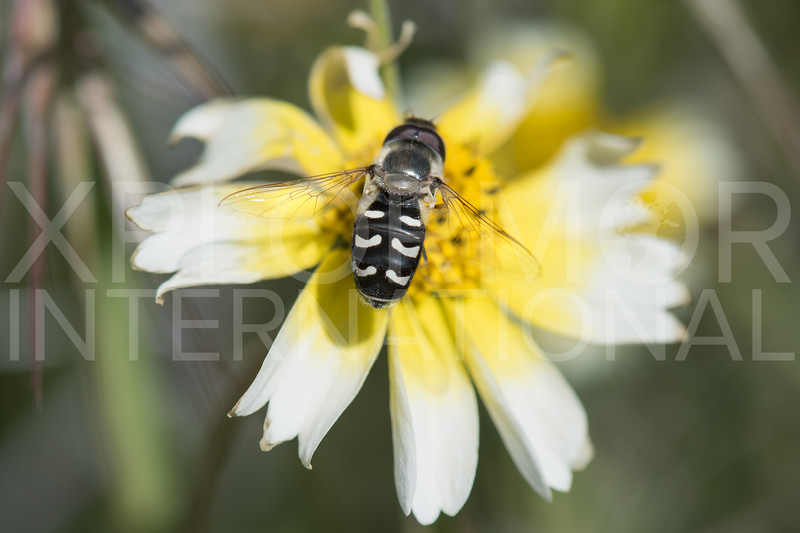 Holarctic Pied Hoverfly