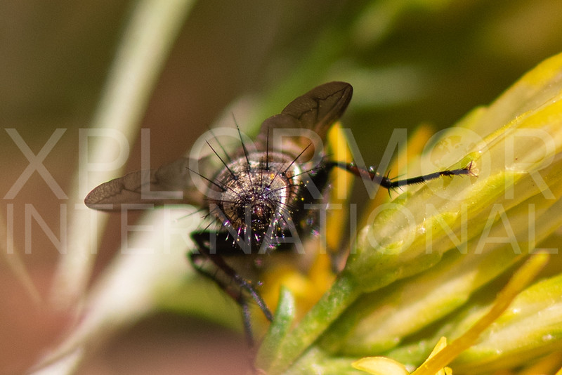 Tachinid Fly (Unidentified)
