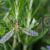 Crane Fly - Need ID