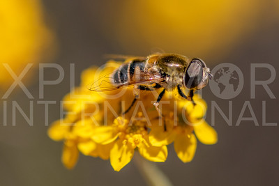 Yellow-shouldered Drone Fly