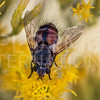 Tachinid Fly -Need ID