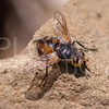 Tachinid Fly - Need ID
