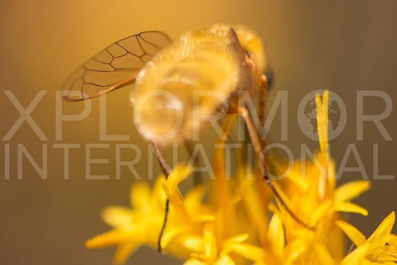 Bee Fly
