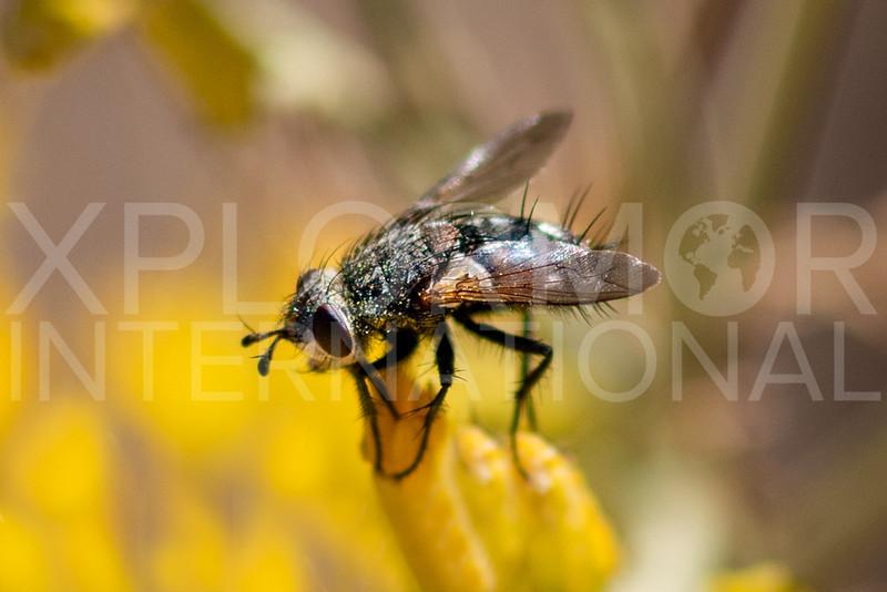 Tachinid Fly -Need ID