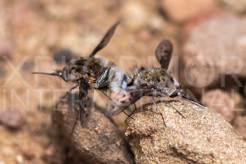 White-headed Bee Flies (Mating Pair)