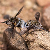 White-headed Bee Flies (Mating)