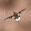 White-headed Bee Fly