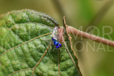 Blue Fly in Florida
