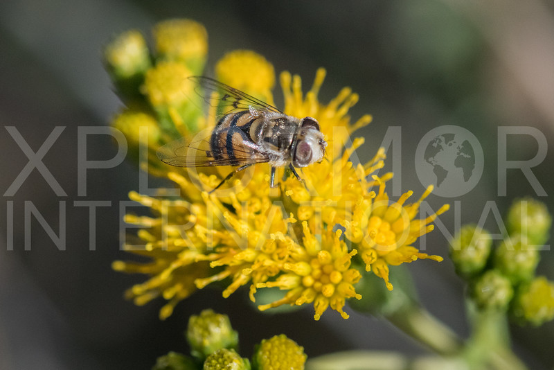 Yellow-spotted Bromeliad Fly