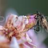 Dance Fly