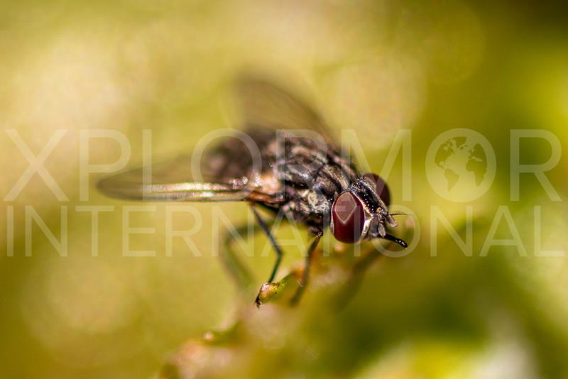 Muscoid Fly - Need ID