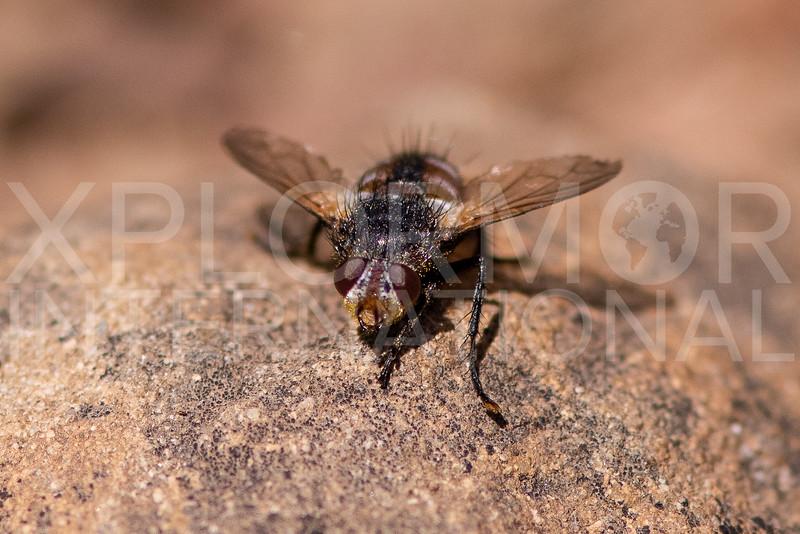 Tachinid Fly - Need ID